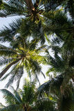 Coconut palm trees perspective view, Landscape in island Stock Image
