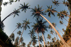 Coconut palm trees perspective view. Royalty Free Stock Photography