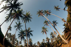 Coconut palm trees perspective view. Royalty Free Stock Photos