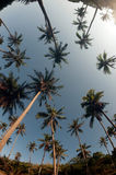 Coconut palm trees perspective view. Stock Photo