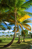 Coconut palm trees perspective view Royalty Free Stock Photo