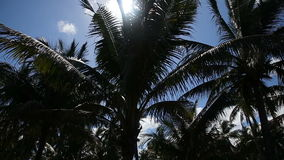 Coconut palm trees plantation in Philippines stock video