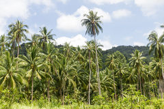 Coconut palm trees Royalty Free Stock Photo