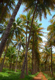 Coconut palm trees plantation Royalty Free Stock Photos