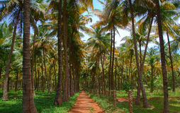 Coconut palm trees plantation Stock Photo