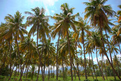 Coconut palm trees plantation. In Tamil Nadu,India Royalty Free Stock Images
