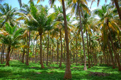 Coconut palm trees plantation Royalty Free Stock Images