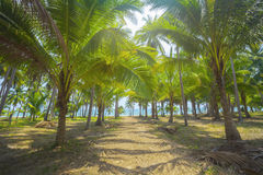 Coconut palm trees plantation in Thailand Stock Photos