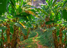 Coconut palm trees plantation in  Thailand Royalty Free Stock Images
