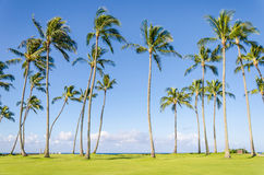 Coconut Palm trees on the Poipu beach in Hawaii Royalty Free Stock Photography