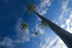 Coconut palm trees reaching out to skies Royalty Free Stock Photo