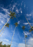 Coconut palm trees reaching out to skies Stock Images