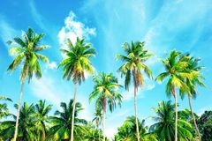 Coconut palm trees on sandy beach near the sea. Summer holiday a Royalty Free Stock Image