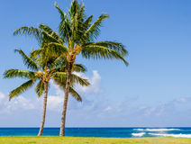 Coconut Palm trees on the sandy Poipu beach in Hawaii Royalty Free Stock Image