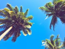 Coconut palm trees scene. Beautiful coconut palm trees scene over blue sky nature backgrounds stock photo