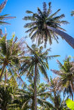 Coconut palm trees and the shining sun, bottom view, in the tropical island Phangan, Thailand. Coconut palm trees and the shining sun, bottom view, in the Stock Image