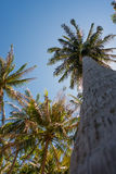 Coconut palm trees and the shining sun, bottom view, in the tropical island Phangan, Thailand. Coconut palm trees and the shining sun, bottom view, in the Royalty Free Stock Photography