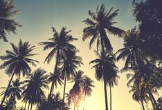 Coconut palm trees silhouettes at sunset. Stock Photo