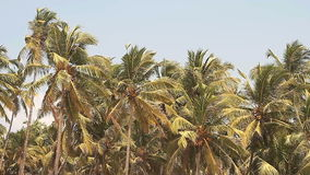 Coconut palm trees and sky stock video