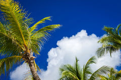 Coconut Palm Trees at the Sky, Mexico Royalty Free Stock Image