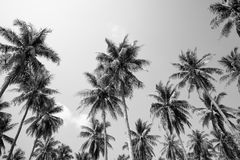 Coconut palm trees sunny day in black and white - Tropical summer breeze holiday royalty free stock photography
