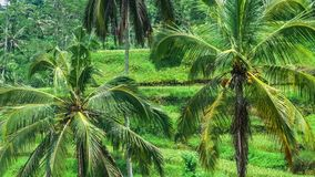 Coconut palm trees on Tegalalang Rice Terrace Cascade. Bali. Indonesia stock video footage