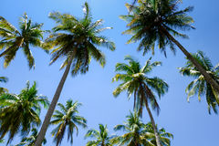 Coconut palm trees in Thailand Stock Photography