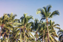 Coconut palm trees, toned photo with filter effect Royalty Free Stock Image