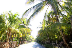 Coconut palm trees track road tropical Royalty Free Stock Photo