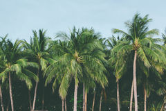 Coconut palm trees tropical background, vintage Royalty Free Stock Photography