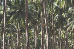Coconut palm trees on tropical beach vintage nostalgic film color filter stylized and toned. Stock Image