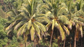 Coconut palm trees in the tropical stock video footage