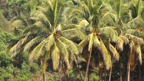 Coconut palm trees in the tropical forest. At summer day stock footage