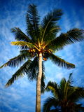 Coconut Palm Trees. Tropical coconut palms against a blue sky royalty free stock image