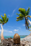 Coconut and palm trees Stock Image