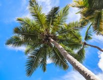 Coconut palm trees under blue cloudy sky. Tropical nature background, Dominican republic Stock Photos