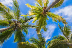Coconut palm trees under blue sky background. Dominican republic nature Royalty Free Stock Photo