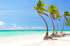 Coconut Palm trees on white sandy beach in Cap Cana, Dominican R Royalty Free Stock Photography