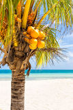 Coconut palm at a tropical beach in Cuba. Close-up of a coconut palm at a beach in Cuba Royalty Free Stock Images