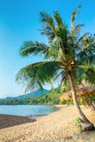 Coconut palm on a tropical beach Royalty Free Stock Image