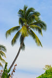 Coconut palm Stock Images
