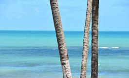 Palm trunks and blue ocean. Coconut palm trunks by the sea on a beach in Zumbi Brazil Stock Photo