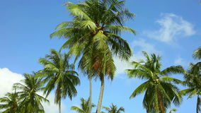 Coconut palm stock video footage