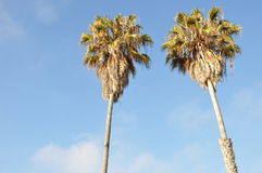 Coconut palms Royalty Free Stock Image