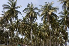 Coconut palms Royalty Free Stock Images