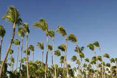 Coconut Palms Royalty Free Stock Photos