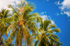Coconut palms. And blue sky Stock Image