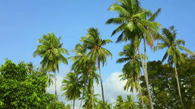 Coconut palms stock video footage