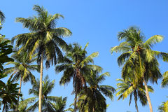 Coconut palms against blue sky Stock Photography