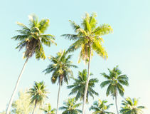 Coconut palms against the blue sky. Stock Photography